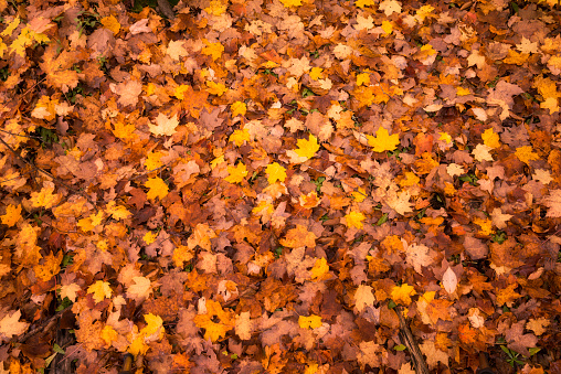 Colorful Leaves on the Forest Floor of Upper Michigan #2 - gettyimageskorea