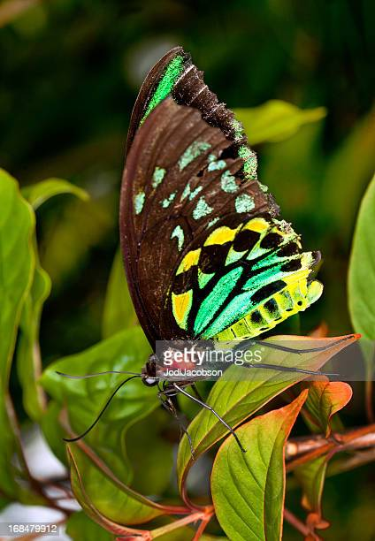 colorful Male Birdwing butterfly (Ornithoptera priamus)