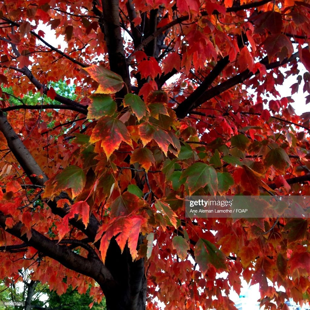 Colorful maple leaf in autumn : Stock Photo