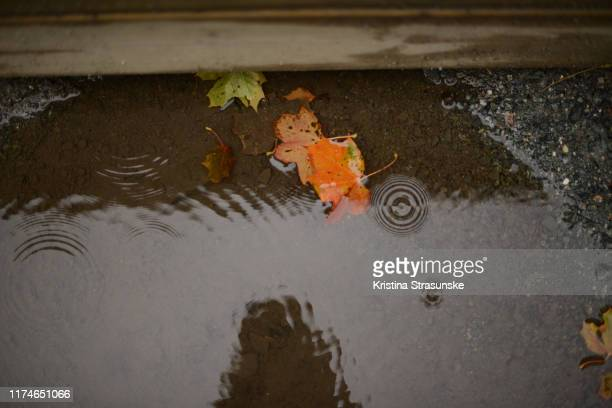 colorful maple leaves in a puddle on a rainy day - kristina strasunske stock photos and pictures