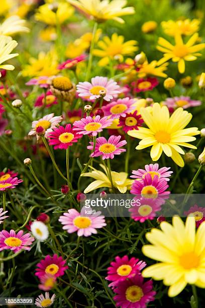 Colorful marguerite daisies