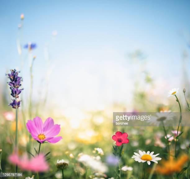 prato colorato - primavera foto e immagini stock