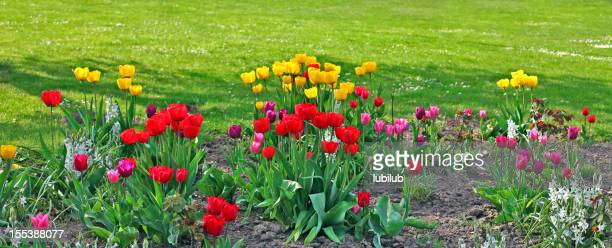 Colorful new tulips in spring flowerbed by lawn
