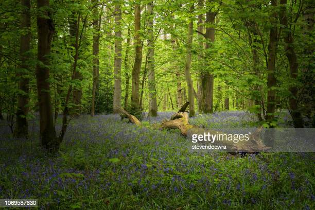 Colorful Norfolk Bluebell woodland at Springtime