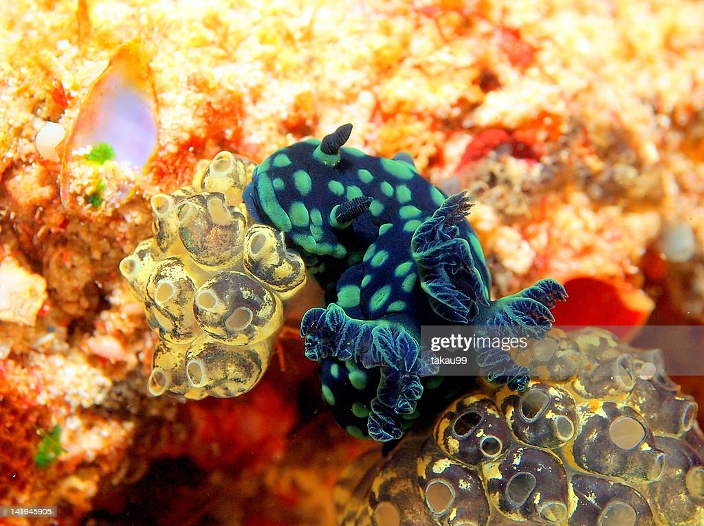 Colorful Nudibranch and Sea squirts : Stock Photo