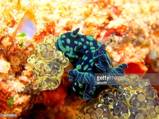 Colorful Nudibranch and Sea squirts