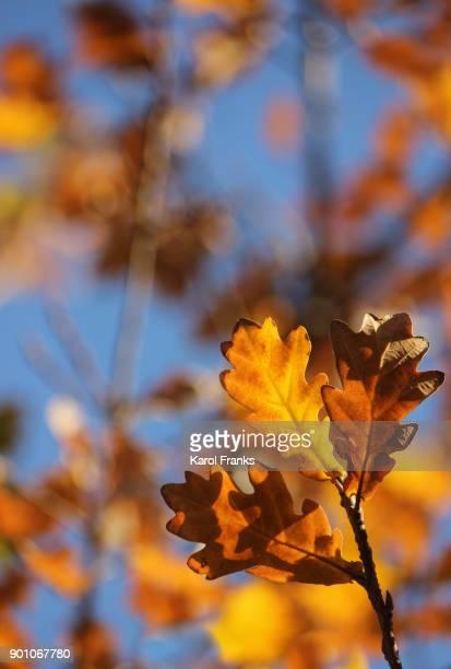 Colorful oak leaf detail