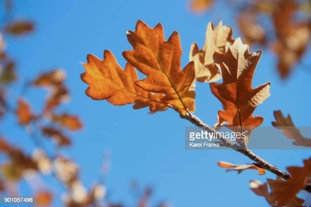 Colorful oak leaves close up