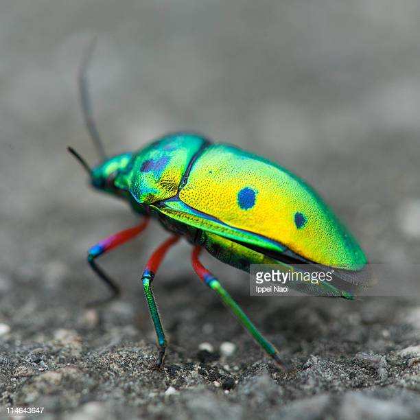 colorful okinawan heteroptera insect, japan - ippei naoi stock photos and pictures