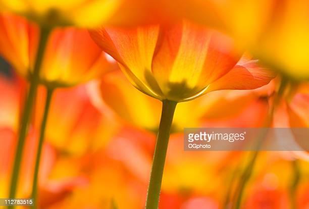 tulipani colorati arancione - ogphoto foto e immagini stock