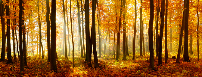 Colorful Panorama of Autumn Beech Tree Forest Illuminated by Sunlight 498892962