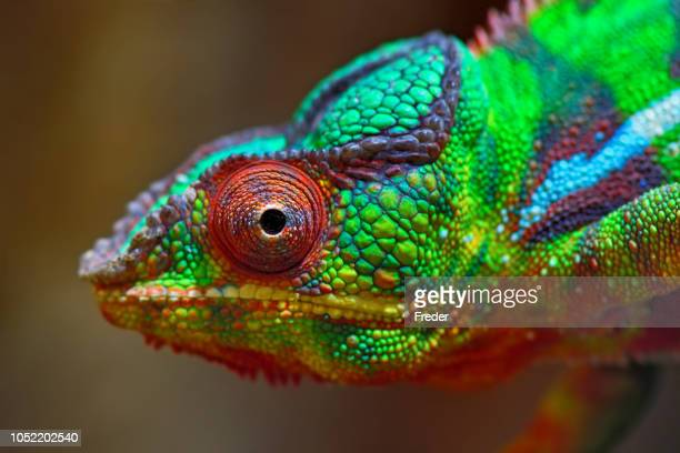 colorful panther chameleon - animal eye stock pictures, royalty-free photos & images