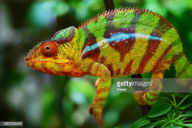 colorful panther chameleon - reptile stock pictures, royalty-free photos & images