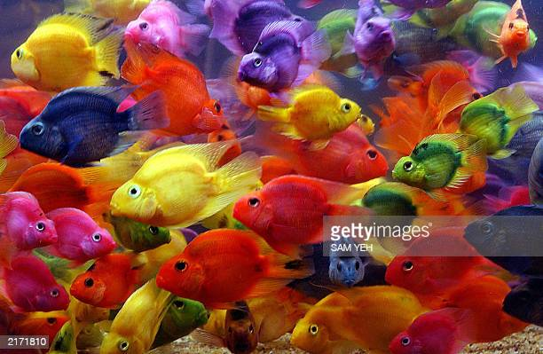 Colorful parrot fish swim in a tank during a fish show in Taipei 17 July 2003 More then 80 different kinds of fishes and turtles are exhibitied...