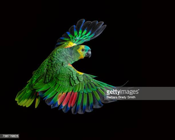 Colorful parrot flying