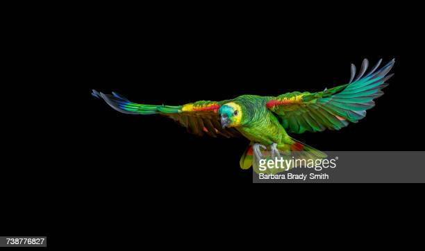 colorful parrot flying - oiseau tropical photos et images de collection