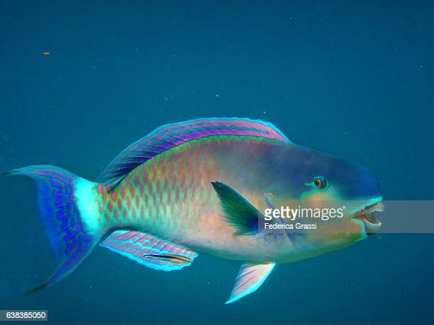 Colorful Parrotfish in Turquoise Tropical Lagoon