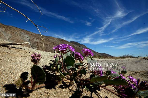 A colorful patch of desert sand verbena bloom in the AnzaBorrego Desert It doesn't matter if there is a 'super bloom' or just a sprinkling of flowers...