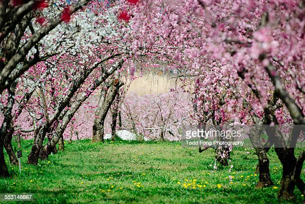 colorful peach blossoms - peach flower stock pictures, royalty-free photos & images