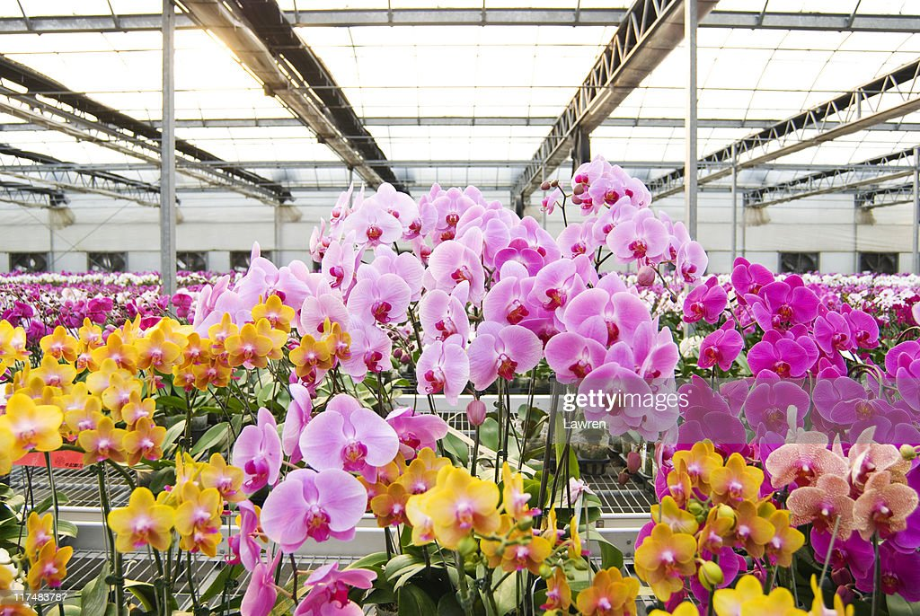 Colorful Phalaenopsis Orchids in green house : Stock Photo