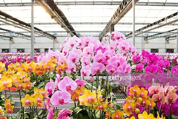 Colorful Phalaenopsis Orchids in green house