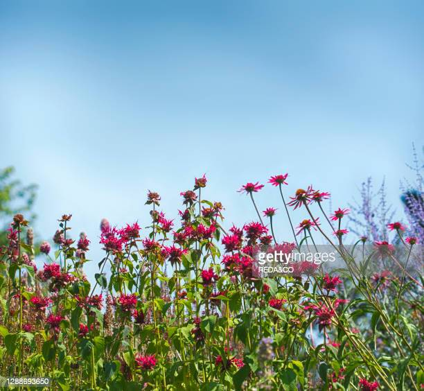 Colorful pink flowers in the garden on bright blue sky background. Beautiful flower in nature, selective focus.