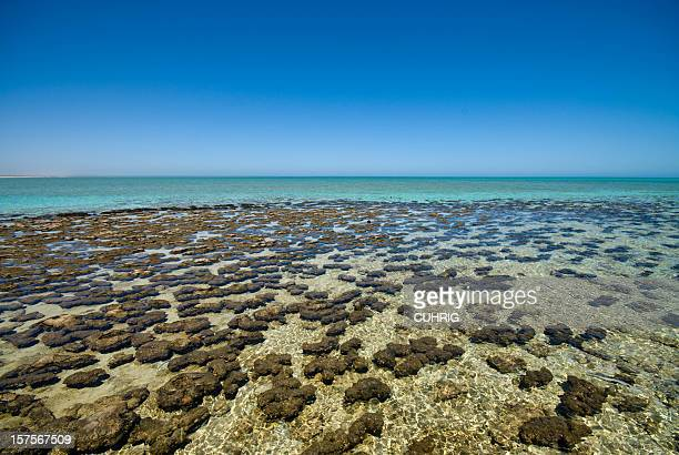a colorful portrait of stromatolites at shark bay - western australia stock photos and pictures