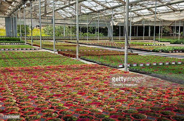 colorful pots of bedding plants in greenhouse - timothy hearsum ストックフォトと画像