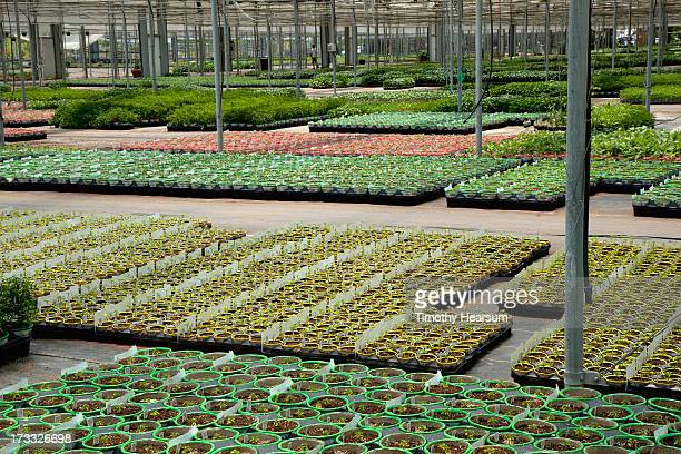 colorful pots with bedding plants in greenhouse - timothy hearsum ストックフォトと画像