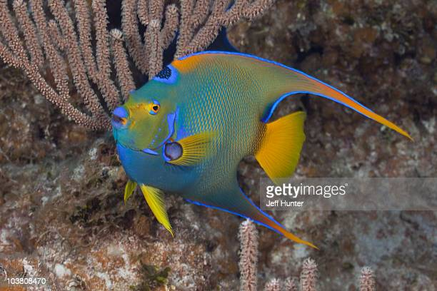 Colorful Queen Angelfish on tropical coral reef