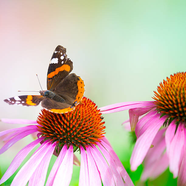 Colorful Red Admiral butterfly pollinating coneflower