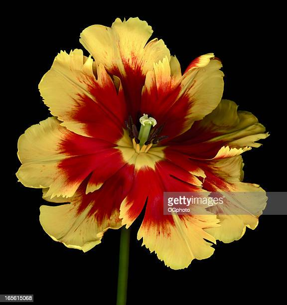 colorful red and yellow parrot tulip isolated on black background - ogphoto stock pictures, royalty-free photos & images