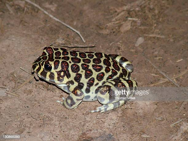 colorful red spotted broow frog (Leptodactylus laticeps), Gran Chaco, Paraguay