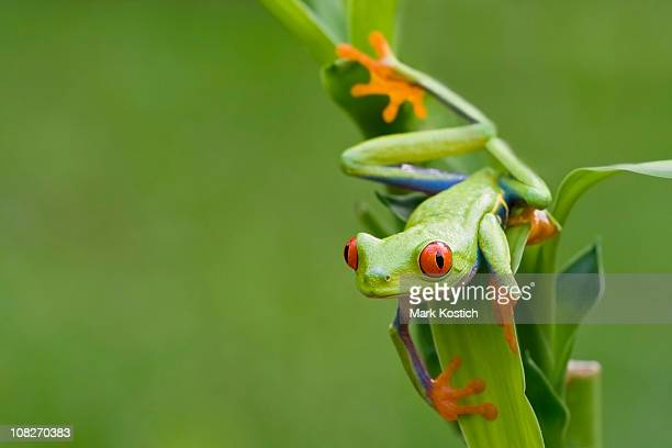 colorful red-eyed tree frog peeping around background - tree frog stock pictures, royalty-free photos & images