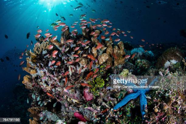 Colorful reef fish swim above a coral reef in the Lesser Sunda Islands of Indonesia.