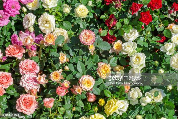 colorful roses - red roses garden stock pictures, royalty-free photos & images