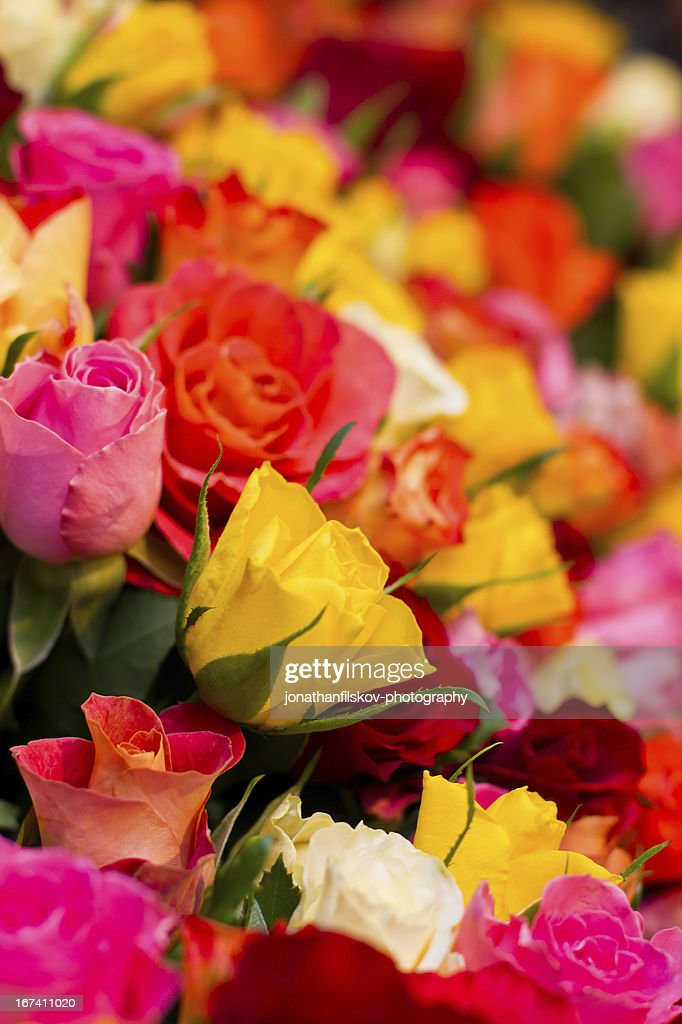 colorful roses : Stockfoto