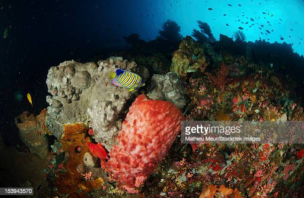 Colorful sea wall with regal angelfish (Pygoplites diacanthus) and grey and pink barrel sponges, North Sulawesi, Indonesia.