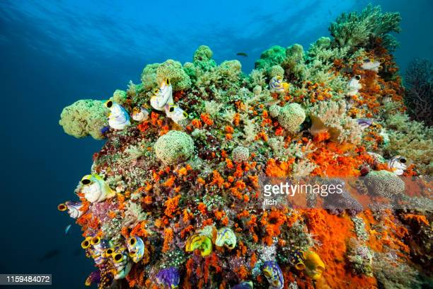 colorful seascape with soft corals, sponges and ascidians, misool, indonesia - sea squirt stock pictures, royalty-free photos & images