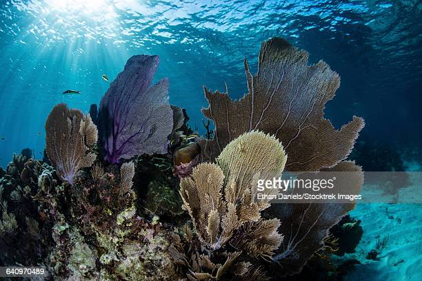 A colorful set of gorgonians on a diverse reef in the Caribbean Sea.