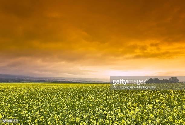 Colorful sky above the rape field