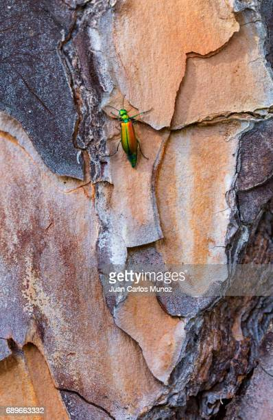 A colorful Spanish fly (Lytta vesicatoria) on the bark of a stone pine, Toledo, Spain, Europe