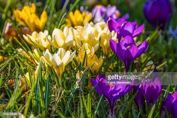 Colorful spring crocuses , growing in a meadow with others at the famous Drebach Krokuswiesen. .