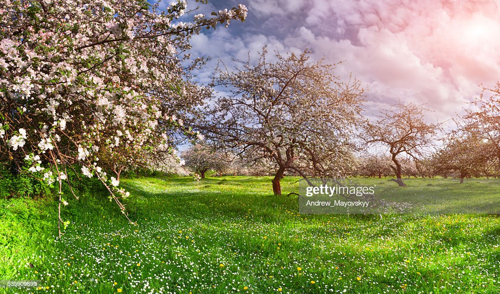 Colorful spring landscape in the apples garden : Stock Photo