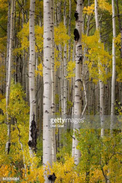 a colorful stand of aspen in autumn in colorado - white river national forest stock photos and pictures