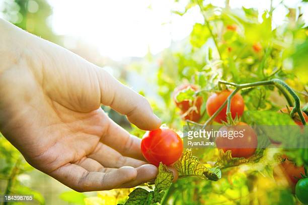 Colorful Summer Tomatos Being Picked