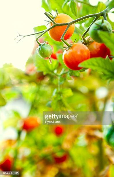 Colorful Summer Tomatos
