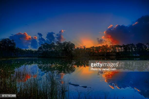 a colorful sunrise on long pine key lake in the florida everglades with smooth water and a nice reflection and as a bonus.....an alligator in the foreground. - everglades national park stock pictures, royalty-free photos & images