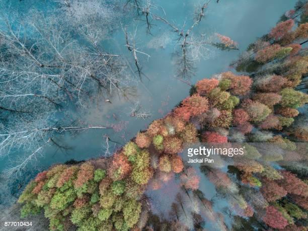 colorful taxodium distichum - klimawandel stock-fotos und bilder
