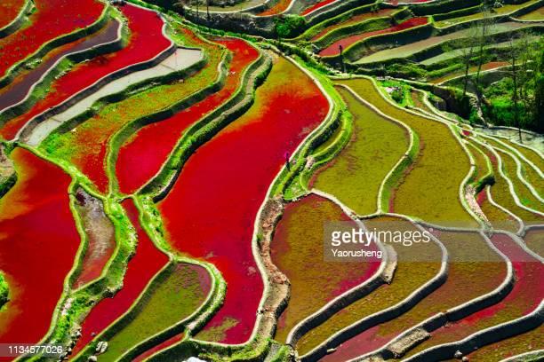 colorful terraced rice field in water season in yuanyang, china - yuanyang imagens e fotografias de stock